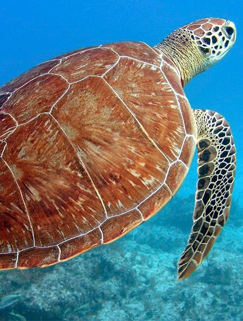 Turtle Underwater at Moreton Island